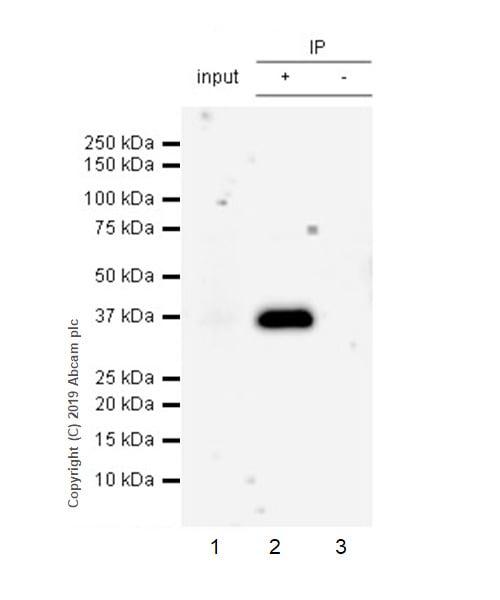 Immunoprecipitation - Anti-SFRP1 antibody [EPR23092-253] (ab267466)