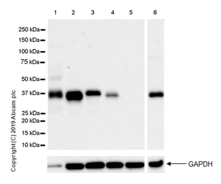 Western blot - Anti-SFRP1 antibody [EPR23092-253] (ab267466)