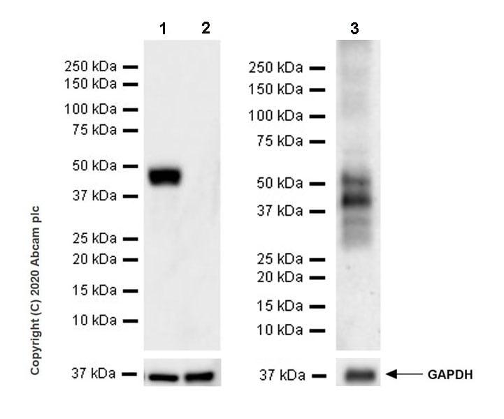 Western blot - Anti-Vaspin antibody [EPR23080-232] (ab267471)