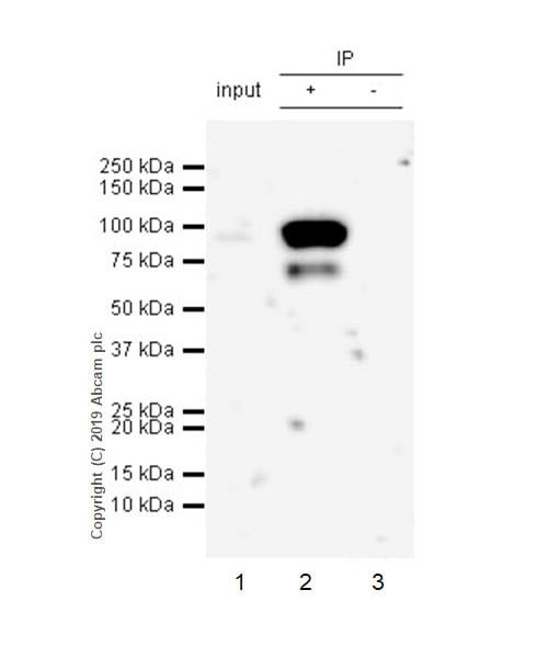 Immunoprecipitation - Anti-LOXL2 antibody [EPR23035-105] - BSA and Azide free (ab267495)
