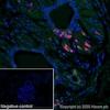 Immunohistochemistry (Formalin/PFA-fixed paraffin-embedded sections) - Alexa Fluor® 647 Anti-Estrogen Receptor alpha antibody [SP1] (ab267512)