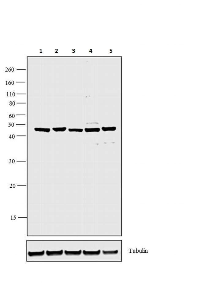 Western blot - Biotin Anti-VEGFA antibody (ab267566)