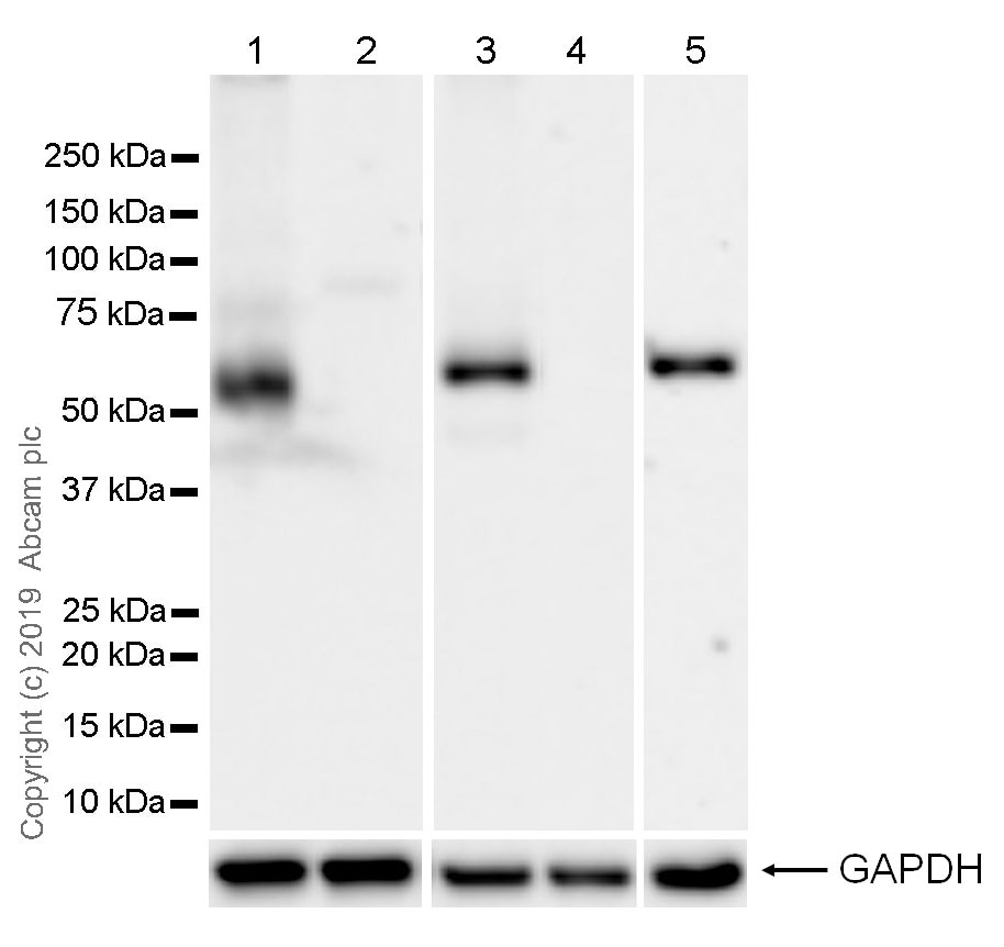 Western blot - Anti-PTEN antibody [EPR22636-122] (ab267787)