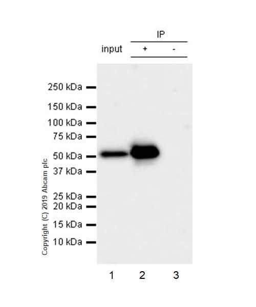 Immunoprecipitation - Anti-PTEN antibody [EPR22636-122] (ab267787)