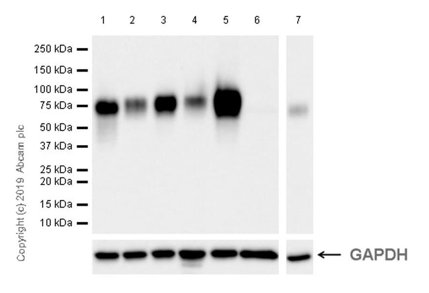 Western blot - Anti-Poliovirus Receptor/PVR antibody [EPR22672-151] (ab267788)