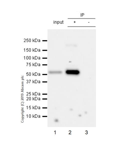 Immunoprecipitation - Anti-PTEN antibody [EPR22636-122] - BSA and Azide free (ab267791)