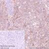 Immunohistochemistry (Formalin/PFA-fixed paraffin-embedded sections) - Anti-Poliovirus Receptor/PVR antibody [EPR22672-151] - BSA and Azide free (ab267794)