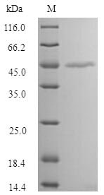 SDS-PAGE - Recombinant Human MAGEA1 protein (Tagged) (ab267887)