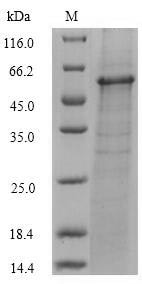 SDS-PAGE - Recombinant Fe/S biogenesis protein NfuA (Tagged) (ab267922)