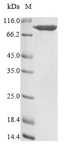 SDS-PAGE - Recombinant Human PLOD3 protein (His tag) (ab267942)