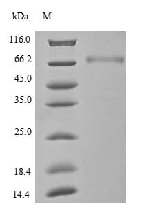 SDS-PAGE - Recombinant human PD-L1 protein (Active) (ab267950)