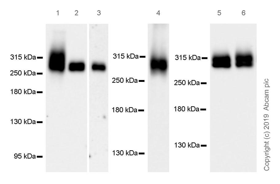 Western blot - Anti-Fibronectin antibody [EPR23110-46] (ab268020)