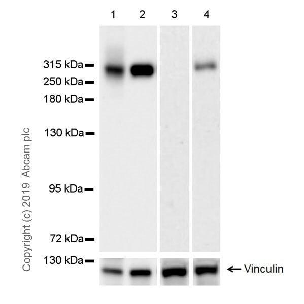 Western blot - Anti-Fibronectin antibody [EPR23110-46] - BSA and Azide free (ab268022)