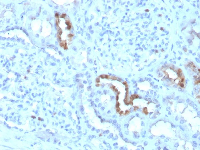 Immunohistochemistry (Formalin/PFA-fixed paraffin-embedded sections) - Anti-Calbindin antibody [CALB1/3333] (ab268134)