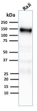 Western blot - Anti-CD21 antibody [CR2/2754] - BSA and Azide free (ab268155)