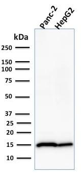 Western blot - Anti-Frataxin antibody [FXN/2124] - BSA and Azide free (ab268184)