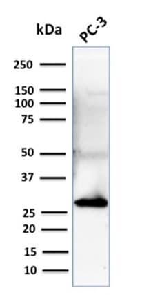 Western blot - Anti-14-3-3 sigma/SFN antibody [CPTC-SFN-2] - BSA and Azide free (ab268188)