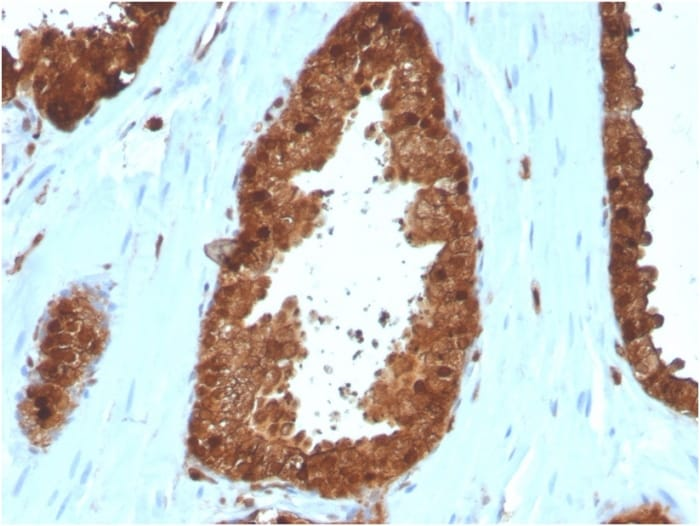 Immunohistochemistry (Formalin/PFA-fixed paraffin-embedded sections) - Anti-Annexin I antibody [ANXA1/3566] - BSA and Azide free (ab268191)
