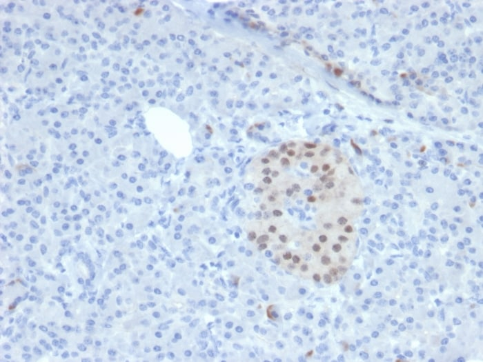 Immunohistochemistry (Formalin/PFA-fixed paraffin-embedded sections) - Anti-nkx6.1 antibody [NKX61/2561] - BSA and Azide free (ab268209)