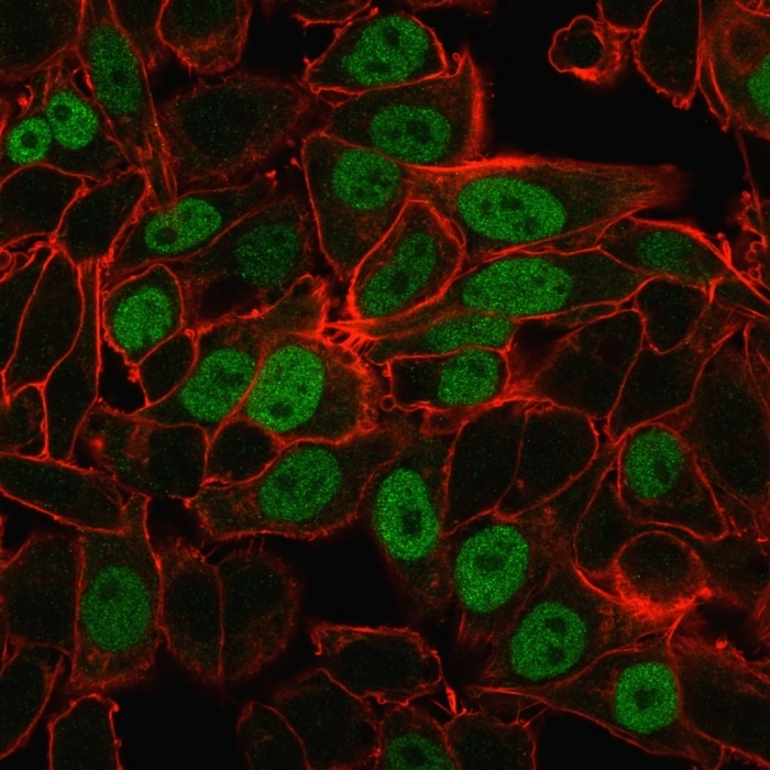 Immunocytochemistry/ Immunofluorescence - Anti-Geminin antibody [CPTC-GMMN-1] - BSA and Azide free (ab268219)