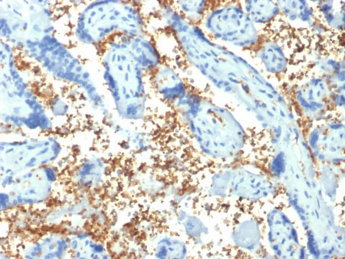 Immunohistochemistry (Formalin/PFA-fixed paraffin-embedded sections) - Anti-alpha 1 Spectrin antibody [SPTA1/1810] - BSA and Azide free (ab268235)