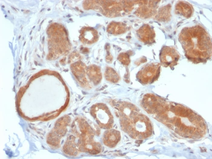 Immunohistochemistry (Formalin/PFA-fixed paraffin-embedded sections) - Anti-STAT5 antibody [STAT5B/2611] - BSA and Azide free (ab268238)
