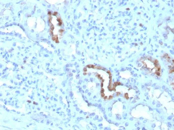 Immunohistochemistry (Formalin/PFA-fixed paraffin-embedded sections) - Anti-Calbindin antibody [CALB1/3333] - BSA and Azide free (ab268258)