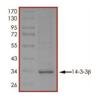 SDS-PAGE - Recombinant Human 14-3-3 alpha + beta protein (ab268290)