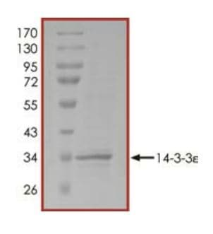 SDS-PAGE - Recombinant YWHAE protein (ab268293)