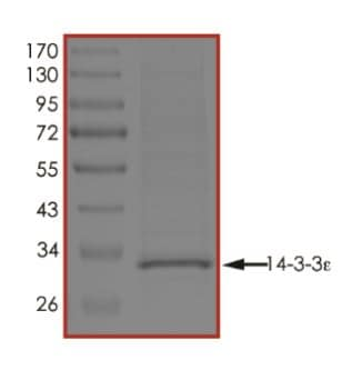 SDS-PAGE - Recombinant YWHAE protein (His tag) (ab268294)
