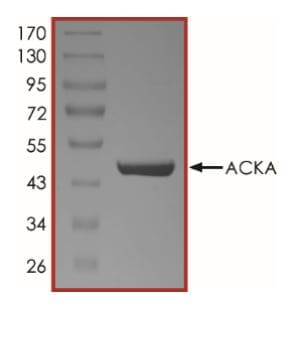 SDS-PAGE - Recombinant Acetate Kinase protein (His tag) (ab268313)