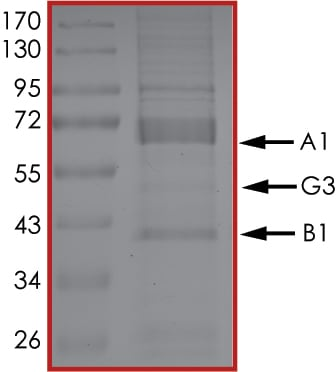 SDS-PAGE - Recombinant human AMPK alpha 1 + AMPK beta 1 + PRKAG3 protein (Active) (ab268335)