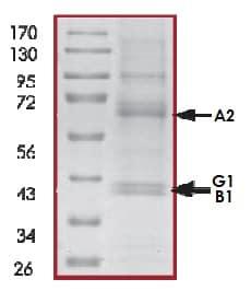 SDS-PAGE - Recombinant human AMPK alpha 2 + AMPK beta 1 + AMPK gamma 1 protein (Active) (ab268338)