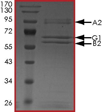 SDS-PAGE - Recombinant human AMPK alpha 2 + AMPK gamma 1 + AMPK beta 2/PRKAB2 protein (Active) (ab268339)