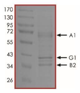 SDS-PAGE - Recombinant mouse AMPK alpha 1 + AMPK gamma 1 + AMPK beta 2/PRKAB2 protein (Active) (ab268344)