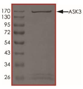 SDS-PAGE - Recombinant human MAP3K15/ASK3 protein (Active) (ab268353)