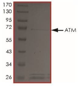 SDS-PAGE - Recombinant Human ATM protein (Tagged) (ab268354)