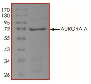 SDS-PAGE - Recombinant human Aurora A protein (Active) (ab268355)