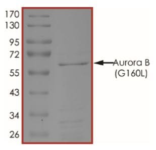 SDS-PAGE - Recombinant human Aurora B (mutated G160 L) protein (Active) (ab268356)