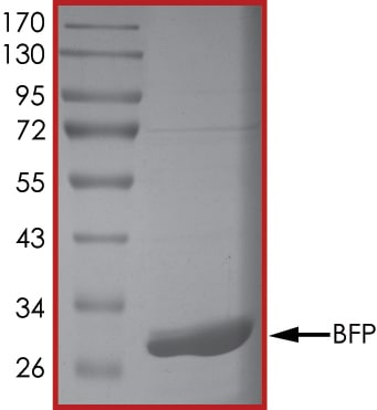 SDS-PAGE - Recombinant ZNF179/BFP protein (Tagged-His Tag) (ab268365)