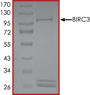 SDS-PAGE - Recombinant human cIAP2 protein (Active) (ab268366)