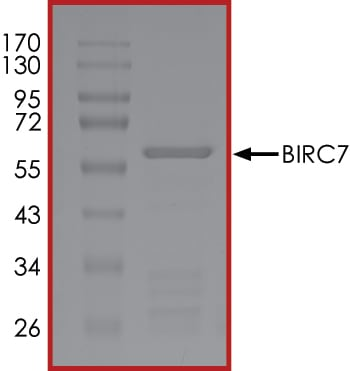 SDS-PAGE - Recombinant human Livin protein (Active) (ab268367)