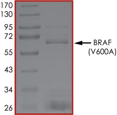 SDS-PAGE - Recombinant human BRAF (mutated V600 A) protein (Active) (ab268368)