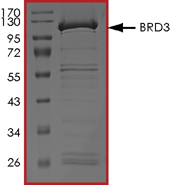 SDS-PAGE - Recombinant Human BRD3 protein (Tagged) (ab268369)