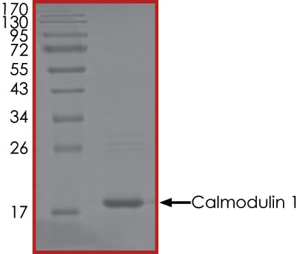 SDS-PAGE - Recombinant human CALM1 protein (Active) (ab268375)