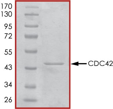 SDS-PAGE - Recombinant human CDC42 protein (Active) (ab268390)