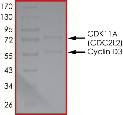 SDS-PAGE - Recombinant Human Cyclin D3/CCND3 + CDK11/CDC2L2/CDK11A protein (Tagged) (ab268394)
