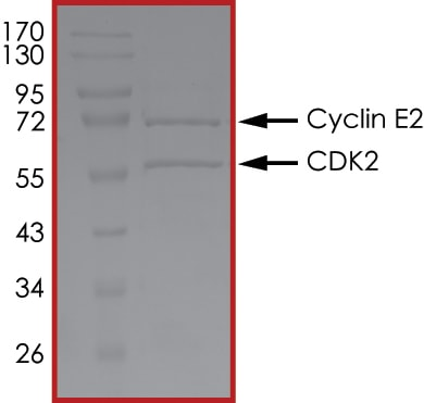 SDS-PAGE - Recombinant human Cyclin E2 + CDK2 protein (Active) (ab268396)