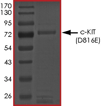SDS-PAGE - Recombinant human c-Kit (mutated D816 E) protein (Active) (ab268411)