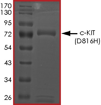 SDS-PAGE - Recombinant human c-Kit (mutated D816 H) protein (Active) (ab268413)